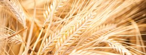 Close up photo of barley plants