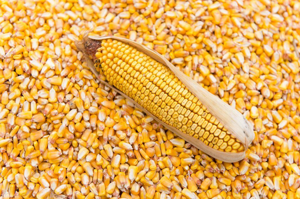 corn gluten