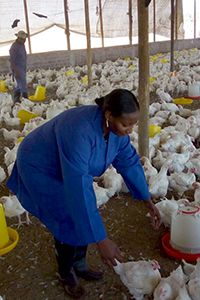 poultry producers with chickens